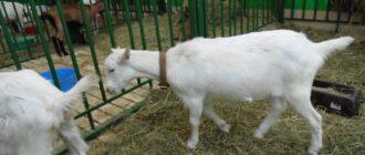 Содержание коз