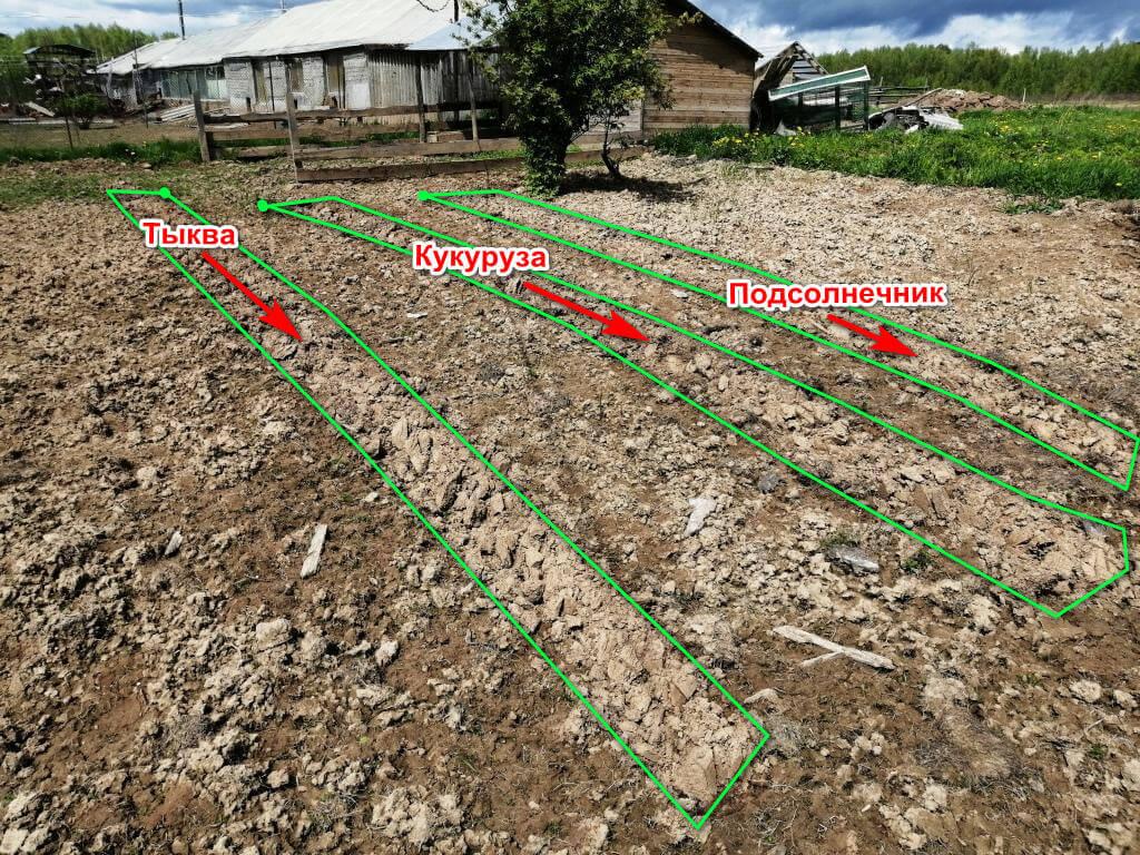Место где высажены тыква, кукуруза, подсолнечник