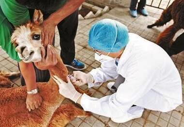 В группу первого риска будут входить люди, ухаживающие за животными.