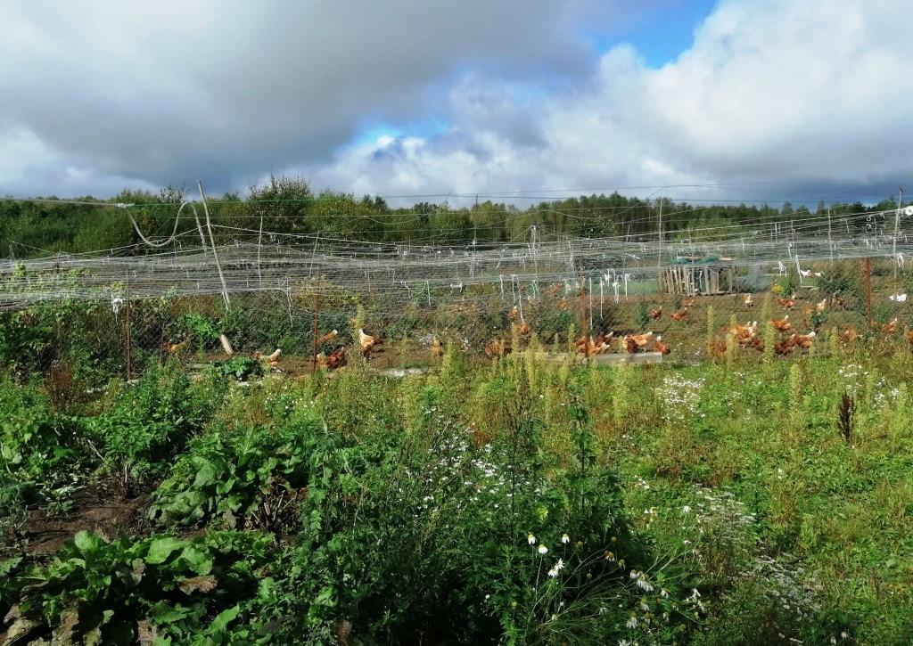 Участок земли для выпаса кур, накрытый сеткой от хищных птиц