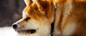 собак породы Акита-Ину