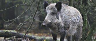 Африканская чума свиней у европейских диких кабанов