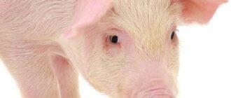 генномодифицированные свиньи