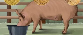 кормить свиней