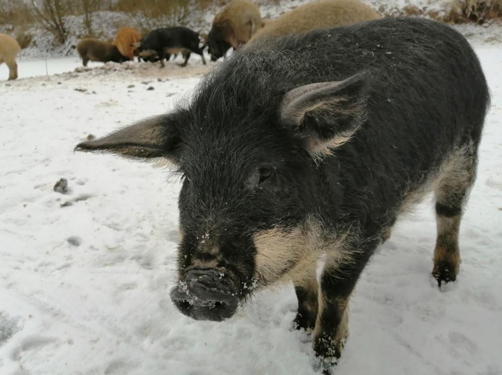 ласковая свинка