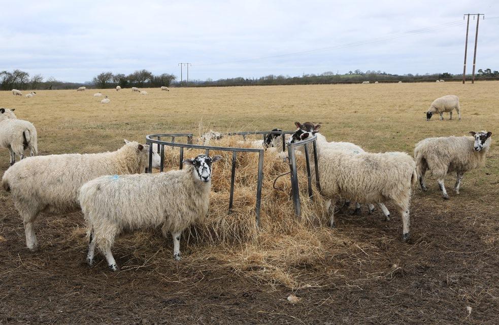 Корм для овец. Что едят овцы?