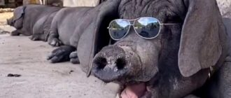 Рыжая свинка