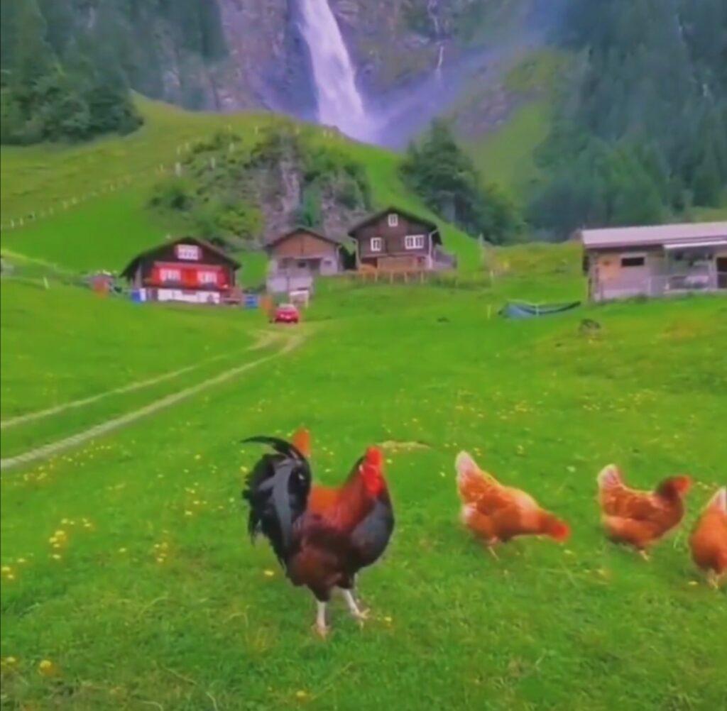 Сколько яиц в день несет курица