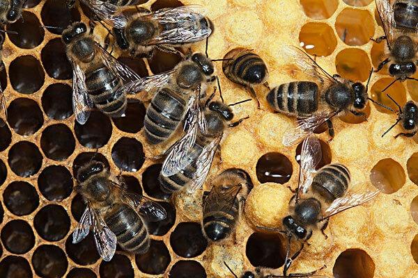 Кормить пчёл хлебной мукой
