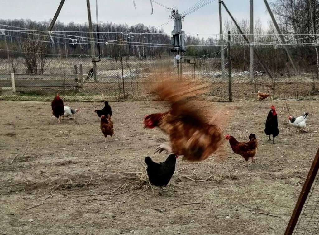 Защитить кур от лисы