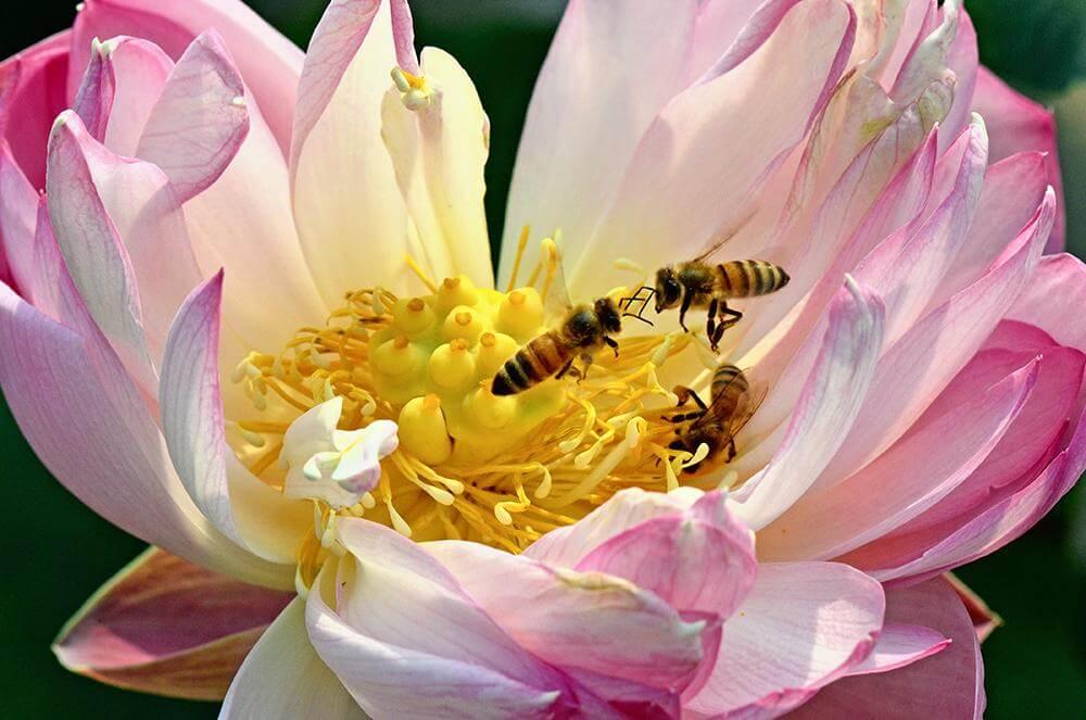 Кормить пчёл