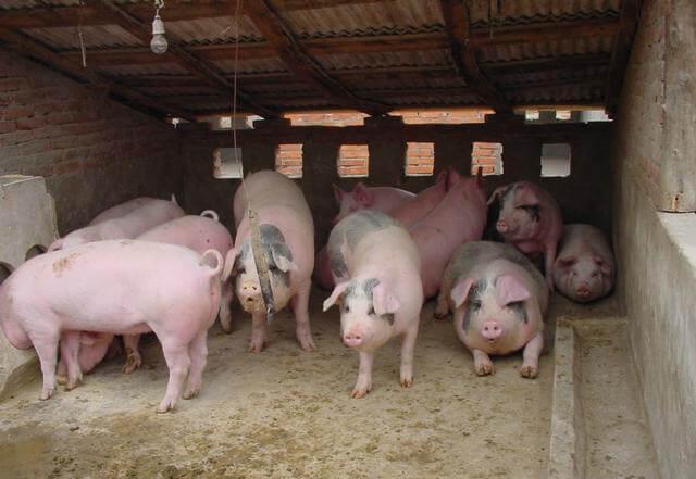 забивать свиней